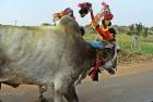 MLA Rides Bullock Cart to Maharashtra Assembly, Presses for Lifting Ban on Rural Sport
