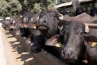 Man Thrashed For Allegedly Being Involved In Buffalo Slaughter In Uttar Pradesh