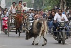 AMU Students' Union Seeks Total Ban on Cow Slaughter Across the Country