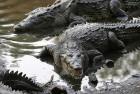 Six-Year-Old Girl Confronts Crocodile to Save Schoolmate in Odisha