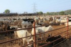 Hours After Adityanath Took Charge Of UP, Two Slaughterhouses Sealed