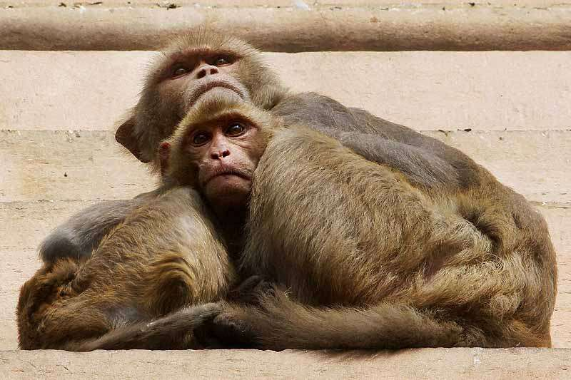 NDMC Hires 40 People to Dress Up As Langurs And Scare Away Monkeys From Parliame