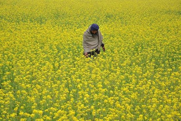 India to Allow Commercial Use of GM Mustard
