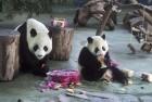 Fussy Pandas Maintain Balanced Bamboo Diet
