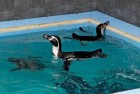 Mumbai: Byculla Zoo Gets Humboldt Penguins