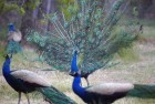 Animal Rights Activist Calls to Restrict Use of Peacock Feathers During Festival
