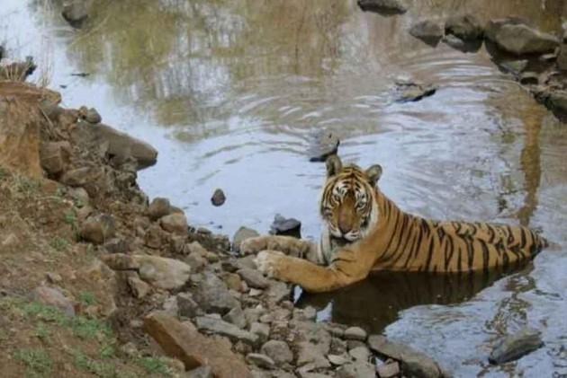 Machli, grand old tigress of Ranthambore, dies