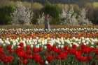 Asia's Largest Tulip Garden Opens Up For Visitors in J&K