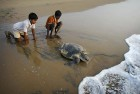 Over 6 Lakh Olive-Ridley Turtles Arrive At Gahirmatha To Lay Eggs