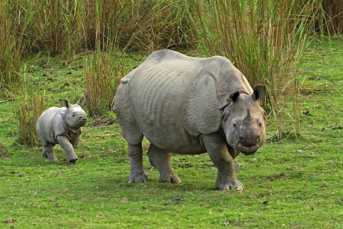 A mother rhino with her baby at Kaziranga National Park