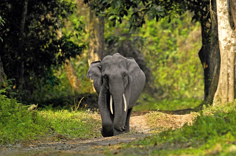 An impressive tusker in Kaziranga National Park