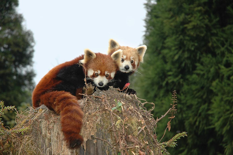 Red Panda in Sikkim