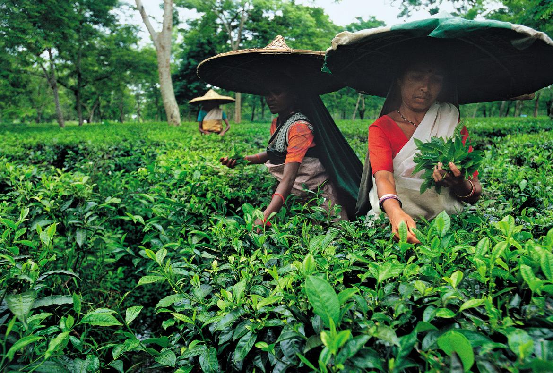 Plantation workers at Jalan Tea Estate