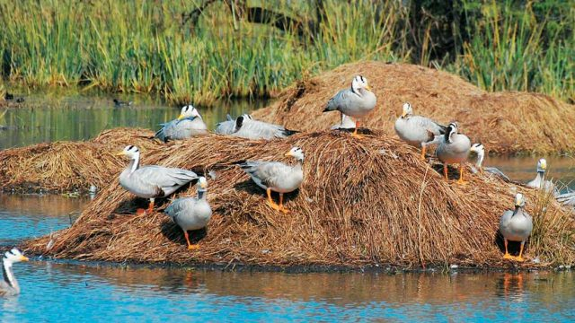 Bar headed geese, Sultanpur Bird Sanctuary