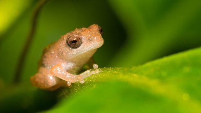 Amboli_Bush_Frog