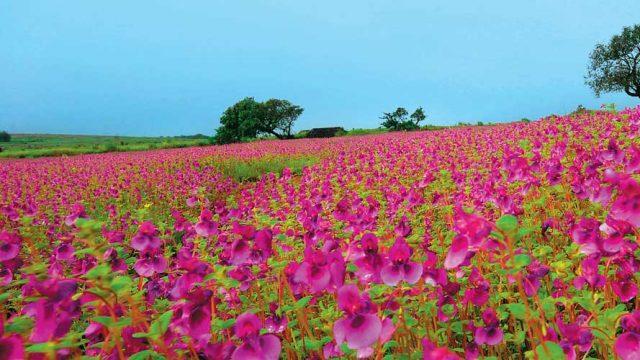 Fuschia blossoms as far as the eye can see, Kaas Plateau