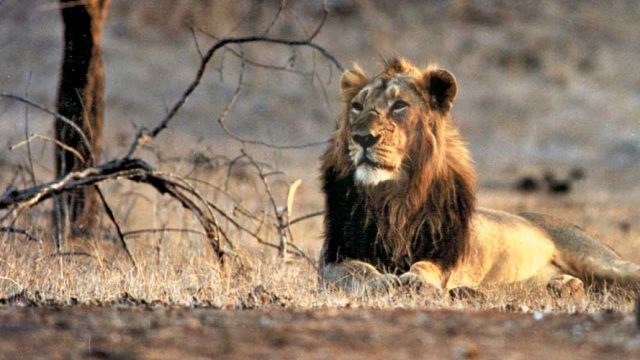 A lion resting on a hot afternoon in Gir Forest National Park