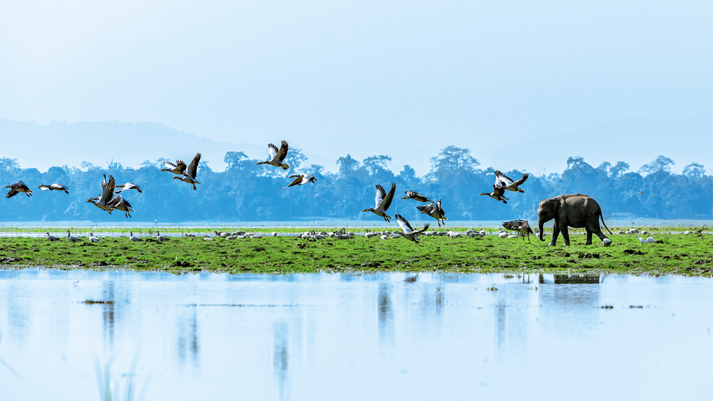 Bar-headed geese and an elephant calf at Kaziranga, India. A bio-diversity hotspot, Kaziranga boasts of the highest number of greater one-horned rhinos in the world.