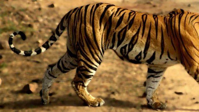 Tigress in Bandhavgarh National Park