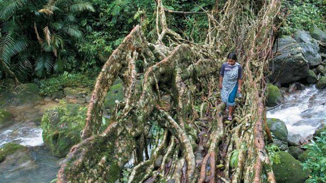 A living root bridge, Meghalaya's one-of-a-kind natural wonder