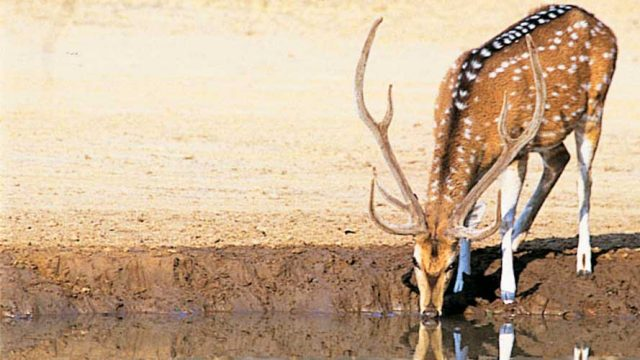Spotted deer by a watering hole