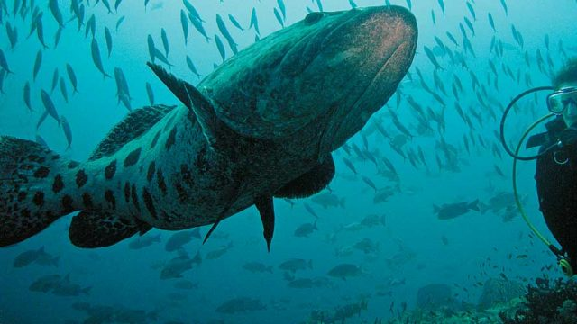 A diver watches a giant grouper