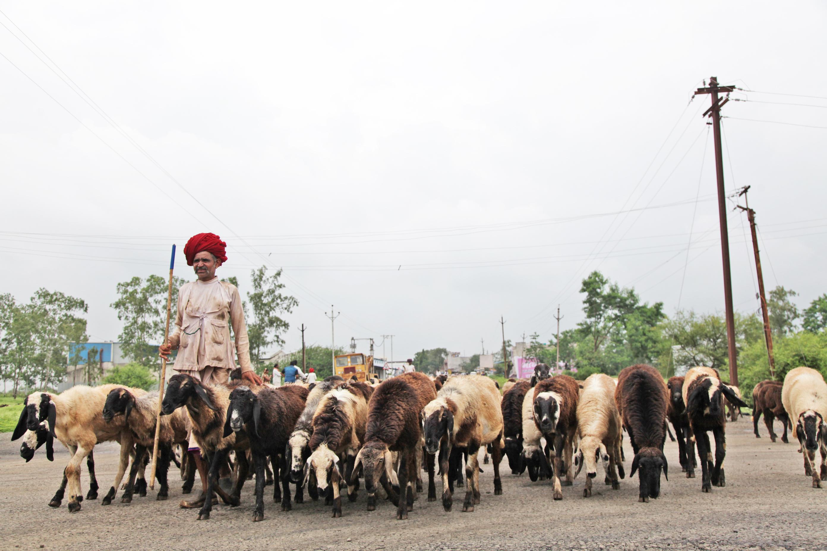 A turbaned Garediya man shepherds his flock of sheep along the highway at Sardarpur, midway between Dhar and Bagh