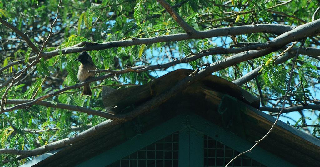 Bulbul, a common songbird