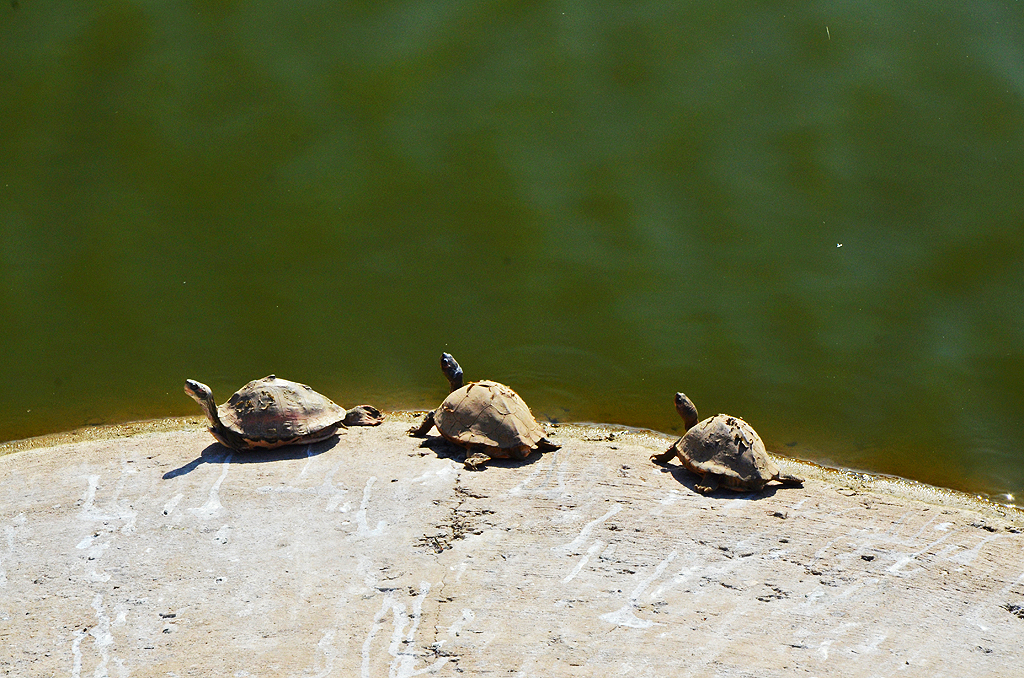 Indian flapshell turtles basking in the sun by the Pushkar lake