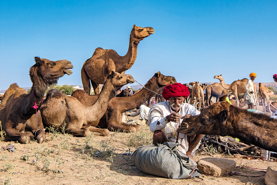 An owner threading a rope through the pierced nose of his camel.