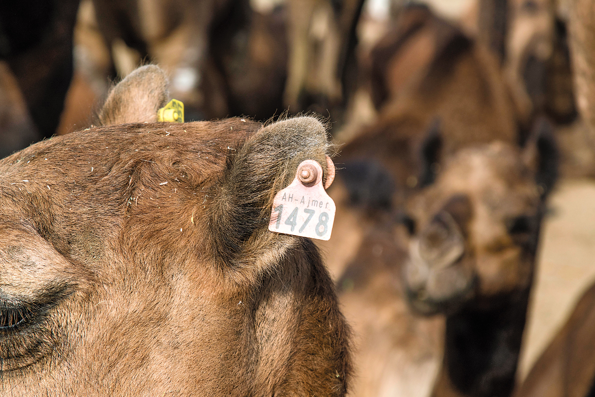 A tagged camel for sale.