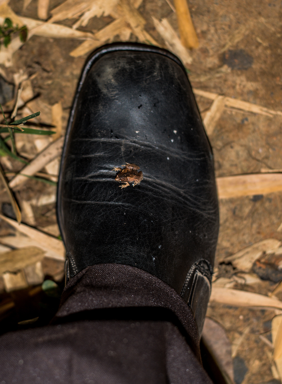 A tiny frog jumps onto the naturalist's shoe during a night walk in Bandhavgarh.