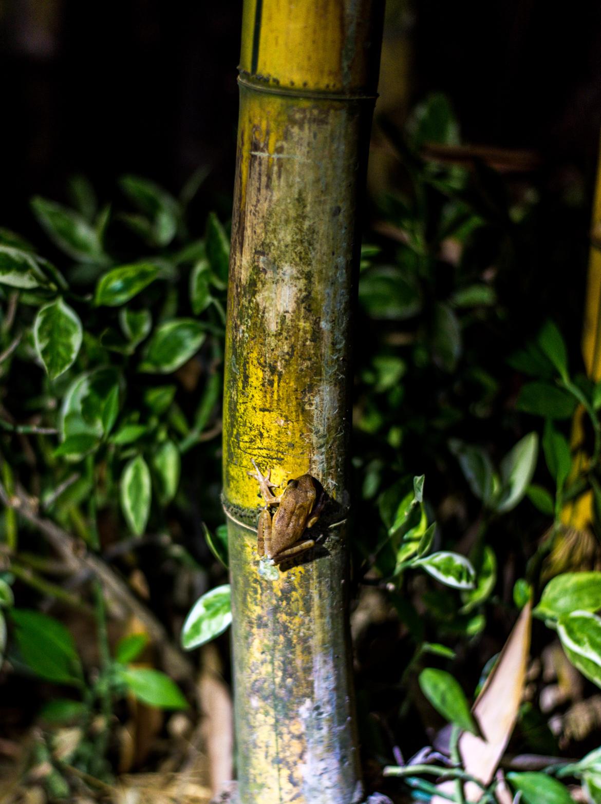 A frog climbs a bamboo.