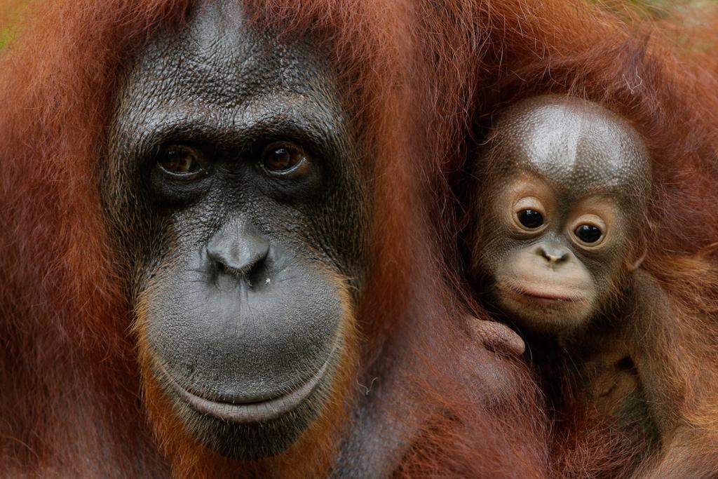Bornean orangutan Khansa