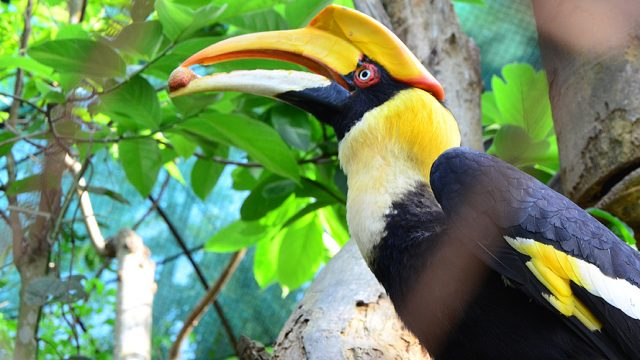 The great Indian hornbill at Nagaland Zoological Park, Nagaland