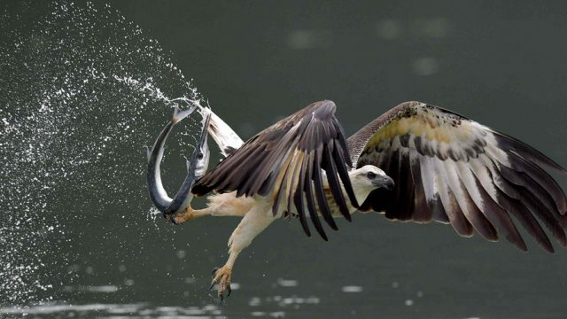 A white-bellied sea eagle with its prey