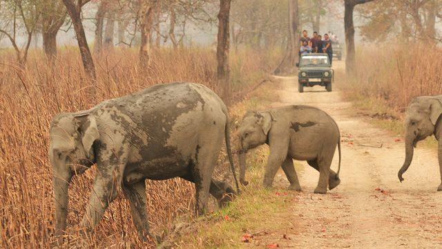 Wild elephants seen at Kaziranga National Park