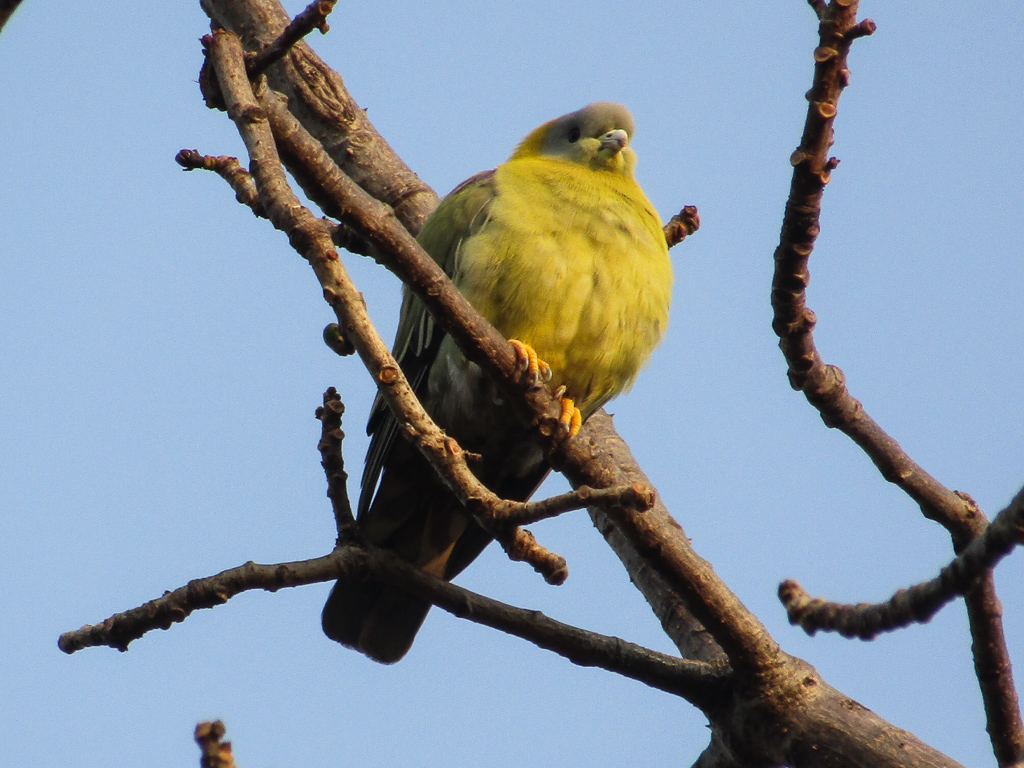 A yellow-footed green pigeon at Kanha