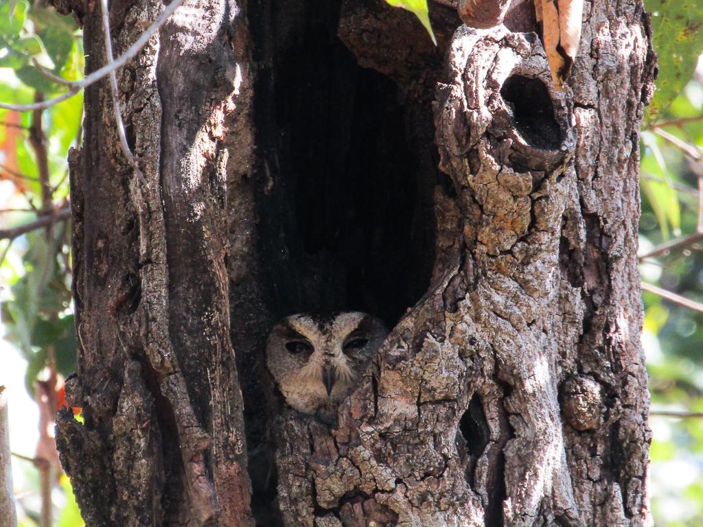 An Indian scops owl
