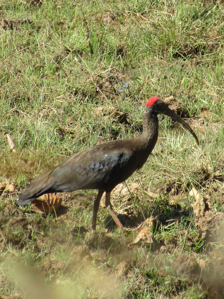 A red-naped ibis at Kanha