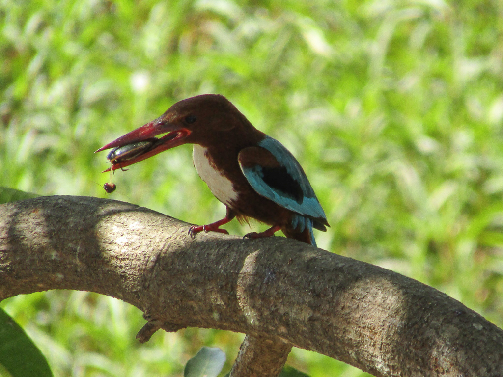 A white-breasted kingfisher with its meal