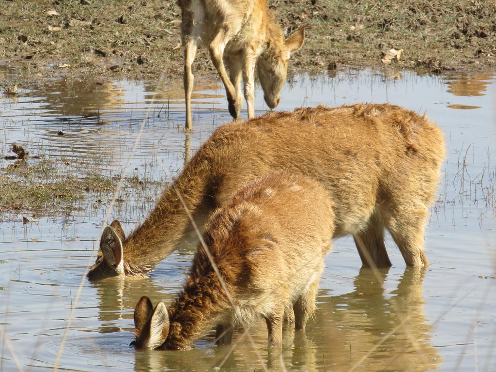 A female and juvenile hard-ground barasingha feeds on aquatic grass