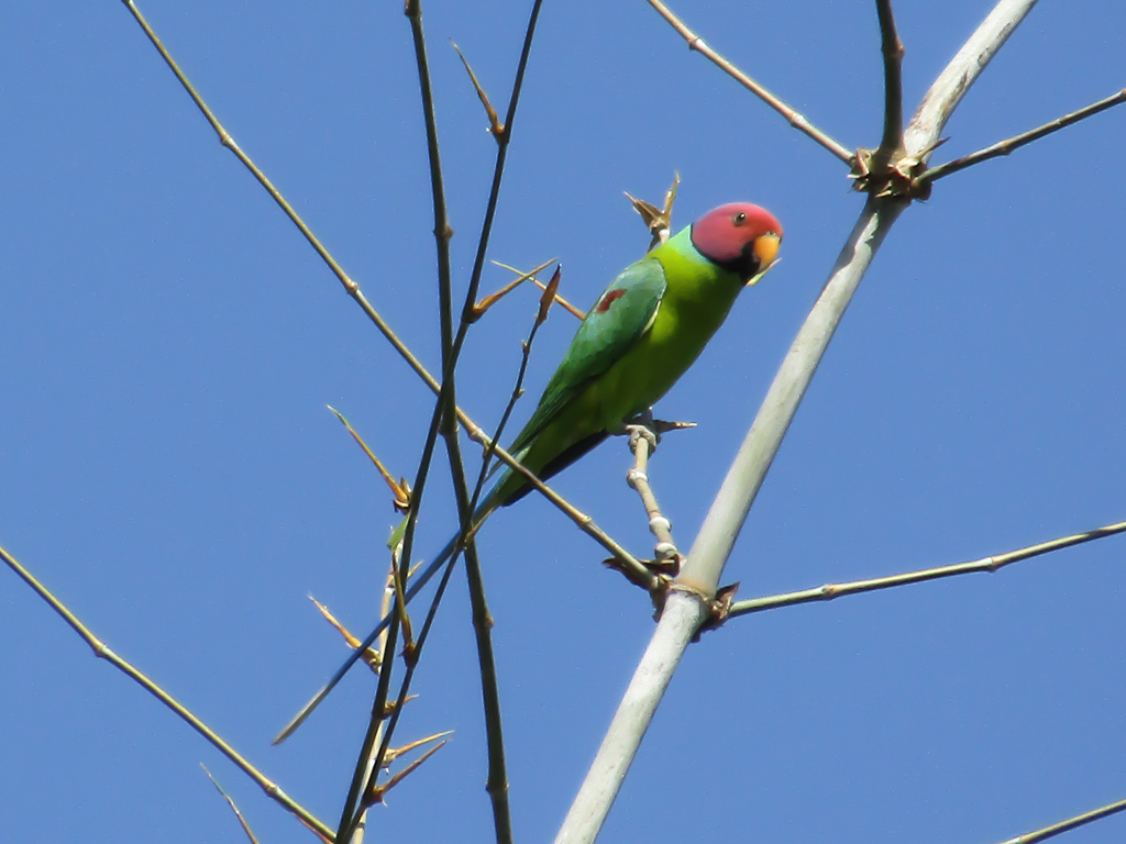 A male plum-headed parakeet
