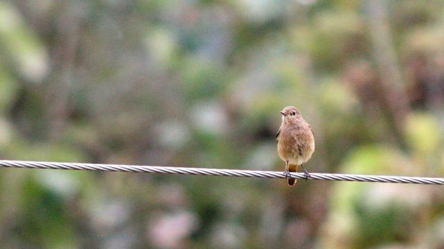 A female pied bushchat