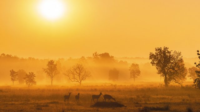 A herd of spotted deer at Kanha National Park