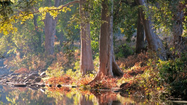 Old-growth trees stand regally next to a quiet stream in the Satpuras