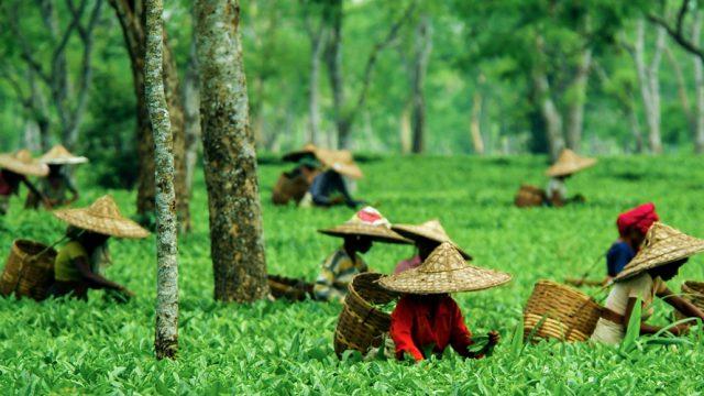 The Assamese tea plantations near Kaziranga are a popular location