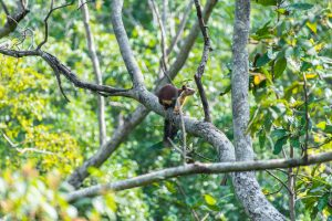 A Malabar Giant Squirrel hops from tree to tree for food and rarely sets foot on ground