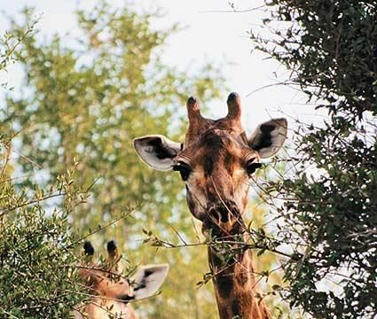 ET qua giraffe