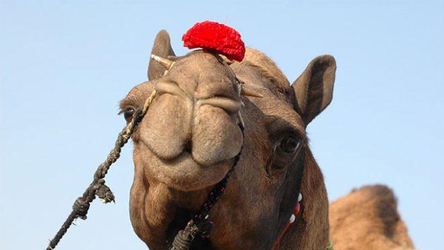 040116164239-bik-camel-festival